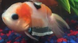 Ce poisson rouge souffrant a une «chaise roulante» pour