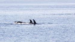 Final Federal Killer Whale Action Plan Still Short On