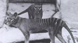 L'hanno dichiarata estinta nel 1936. Ma la tigre di Tasmania potrebbe essere ancora