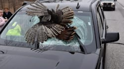 Wild Turkeys Keep Flying Into Cars In