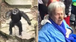 Chimp Flings Poop At Grandma, Has Impeccable