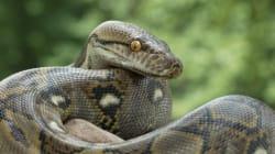 Amende salée pour avoir sorti un serpent «sans laisse» au