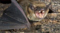 Une chauve-souris morte retrouvée dans une salade