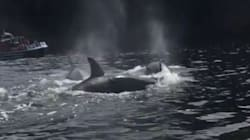 Orcas Put On The Ultimate Show For B.C.
