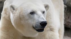 Oldest Polar Bear In U.S. Dies At