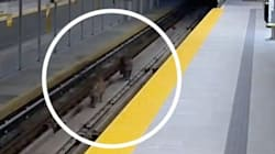 Video: Cougars Trigger Alarm On SkyTrain