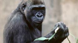 L'ADN des gorilles ressemblerait à celui des