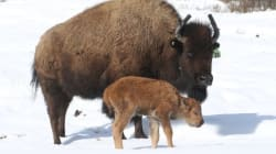 This Bison Calf Is The First Of Its Kind In 140