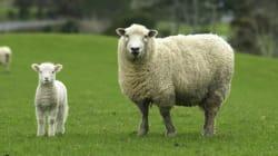 アメリカの医師ら、未熟児の出産を改善するための「人工子宮」を開発 仔羊で最長4週間の成長⇒出産に成功