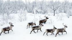 Ce pays va abattre 2000 rennes pour éradiquer une