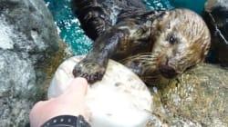 国内の水族館のラッコ、あと12頭に ピーク時から9割減