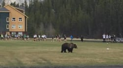 Grizzly Strolls Onto Banff Rugby Pitch During