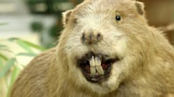CANADA WTF? Noble Beaver Toppled As Nation's Best