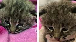Calgary Firefighters Rescue Bobcat Kittens From Burning