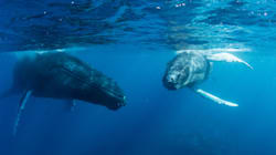 Humpback Whale Moms 'Whisper' To Their Babies To Avoid
