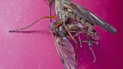 Sexe des mouches: le mâle rejeté se noie dans