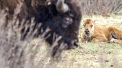 ► 10 Baby Bison Frolic In Banff National
