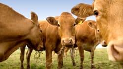 Des chercheurs tentent de réduire les pets des vaches