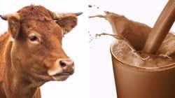 Plusieurs Américains croient que le lait chocolaté vient de la vache