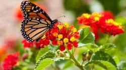 Le secret génétique de la migration du papillon Monarque