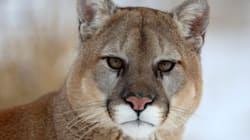 Hungry Cougar Stalks B.C.