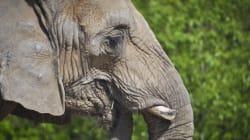 Toronto Elephants Can't Move To California Yet: