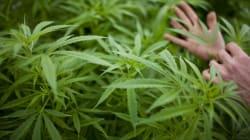 Uruguay planea legalizar la marihuana y controlar su