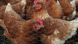 Le poulet, à l'origine des infections