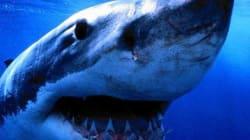 Un surfer dévoré par un requin en