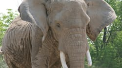 Toronto Elephants To Stay Put Until Cooler