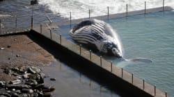 Le cadavre d'une baleine coincé dans une piscine de