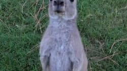 WATCH: Kangaroo Tries To Drown