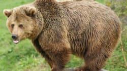 Il évite un élan mais percute un ours
