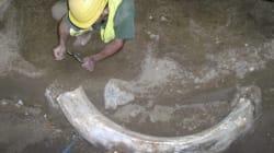 Une défense de mammouth dans le
