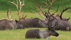 We Need To Save Caribou From Local