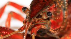 Un homard de 7 kilos au
