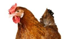 Un poulet sauve ses maîtres d'une mort