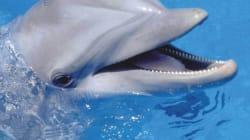 Un dauphin prend un plongeur pour un