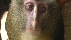 Dites bonjour à Lesula, la dernière espèce de singe
