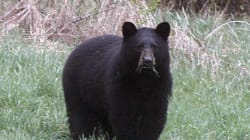 Bear Killed After Returning For 2nd