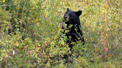 B.C. Bears A Little Too