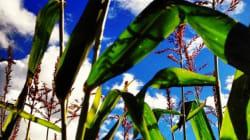 Qu'est-ce que le maïs NK603, soupçonné de toxicité