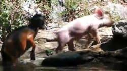 Un cochon sauve un bébé chèvre de la noyade