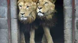 Il lungo viaggio di tre leoni