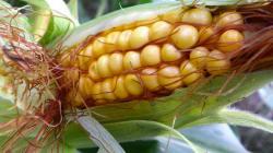 Nouveau revers pour les OGM à