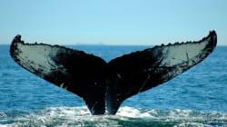 Mortalité des baleines : réduire la vitesse des navires donne de bons