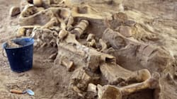 Le squelette d'un mammouth découvert à 50 kilomètres de