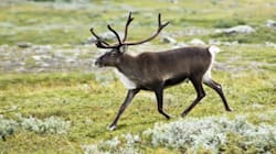 B.C.'s Plan to Protect Endangered Caribou Is