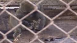 Il babbuino adotta il gattino