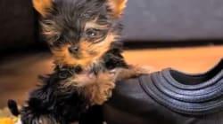 Le chien le plus petit du monde est aussi grand qu'un hamster